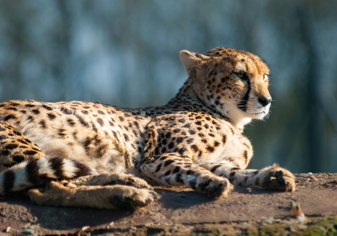 What distinguishes a cheetah's paws from other big cats?