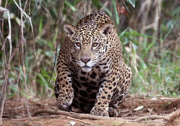 What unique killing technique are jaguars known for?