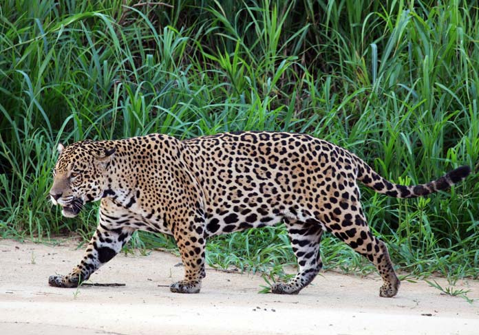 What is the name of this spotted cat?