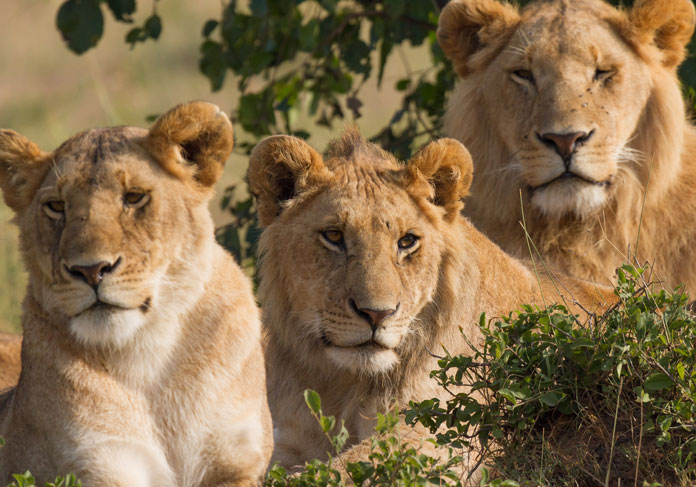 What is the correct name for a group of lions living together?