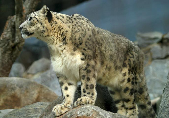 How far can a snow leopard leap horizontally in a single bound?