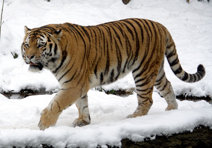 The tiger is the largest cat. True or false?