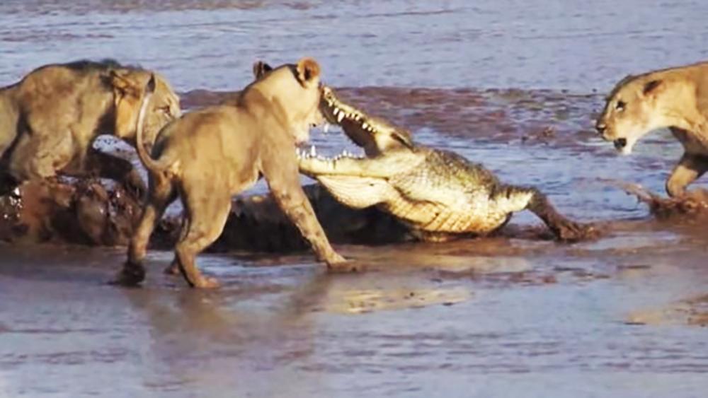 Lions vs. Crocodile - Fight Over Elephant Carcass