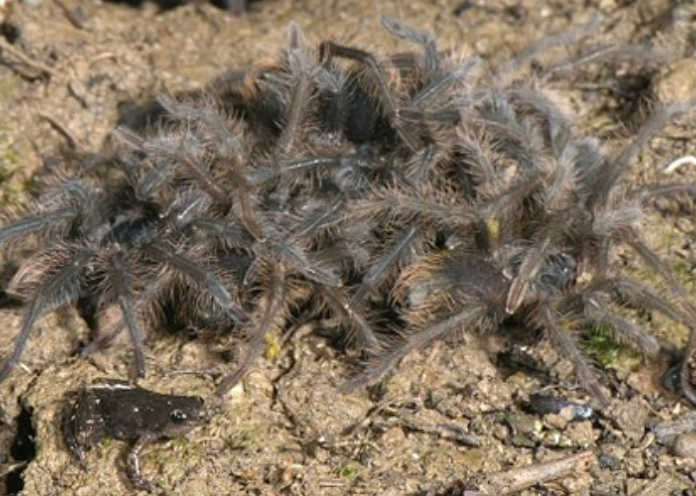 Giant Tarantulas And Tiny Frogs Are Friends With Benefits