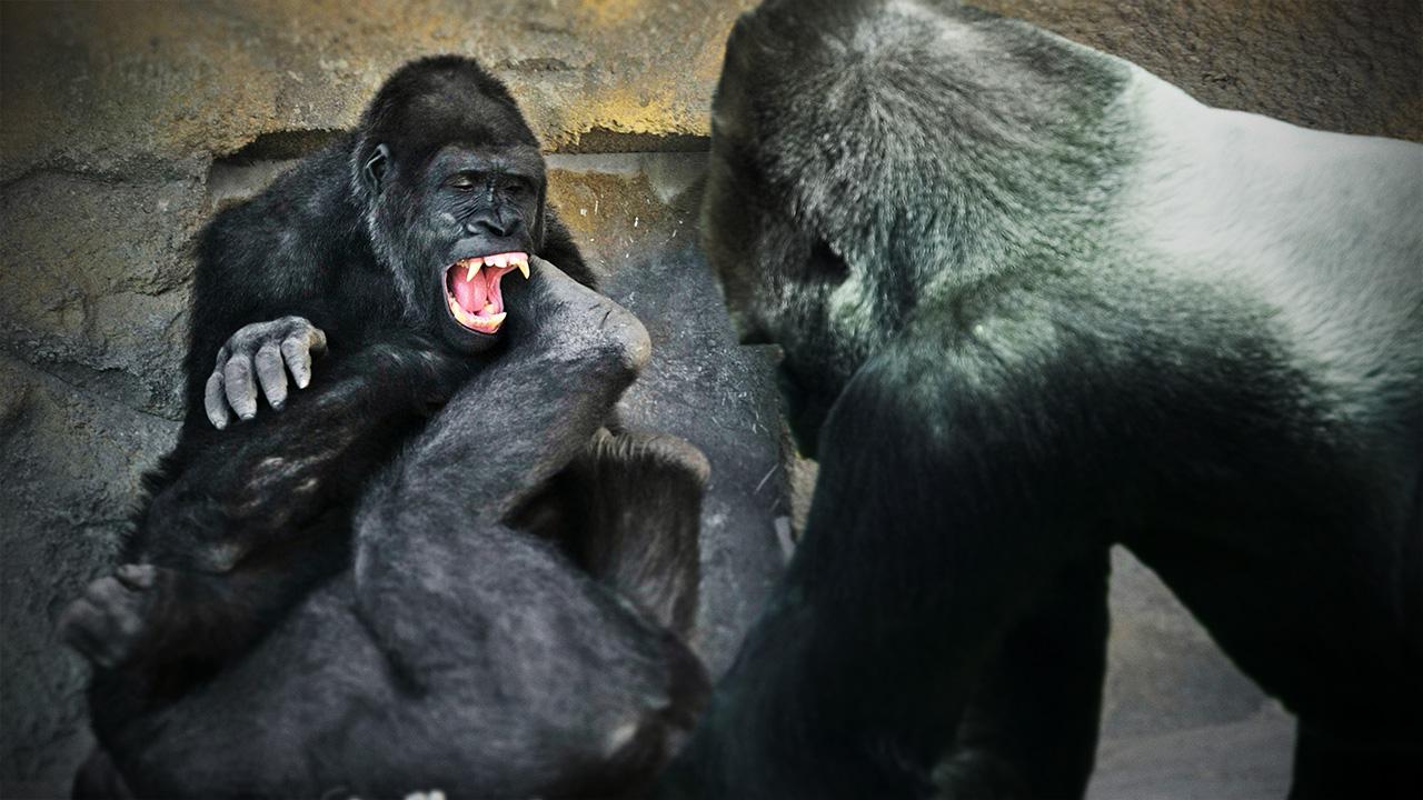 2 Gorillas Battle as Baby Tries to Break Up Fight