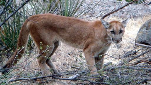 Mountain Lion Strolls Through a Backyard With Fresh Prey