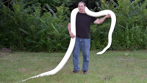 Largest White Snake In The World