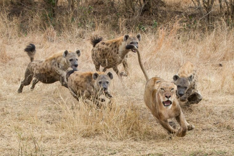 Lion Pride Comes to Aid of Lioness Being Attacked by Hyenas [VIDEO]