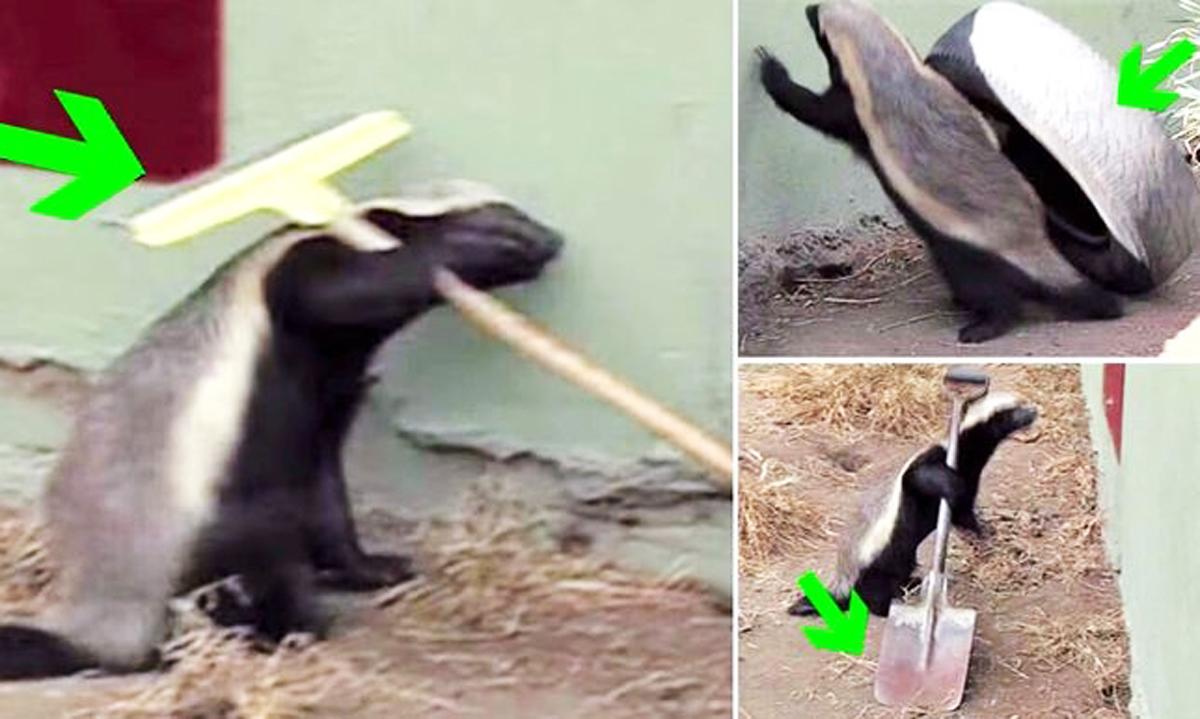 Honey Badgers Use Tools To Escape Enclosure