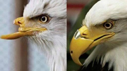 beauty-eagle
