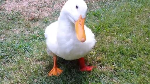 buttercup-duck