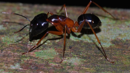 This Killer Ant Explodes To Take Out Its Enemies